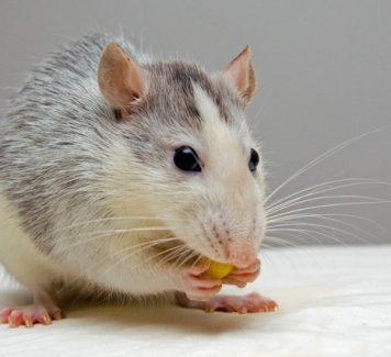 Hoe kom je van ratten en muizen af?