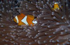 Alles over de anemoonvis